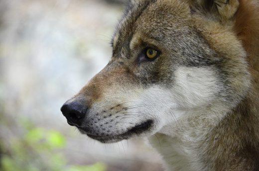 wolf-1336213_1280