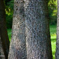 Bäume - Fichtenstämme im Frankenwald bei Teuschnitz